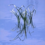 Reeds Reflecting